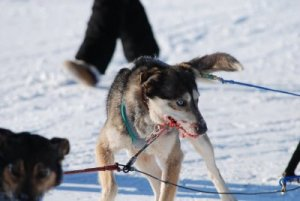 Inuvik sled dog race, Winter of 2006/2007 [Photo submitted]