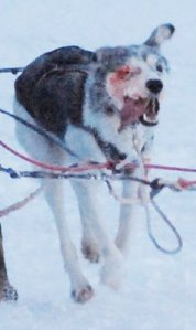 Injured sled dog, Aklavik NWT sled dog race, Winter of 2006/2007 [Photo submitted]